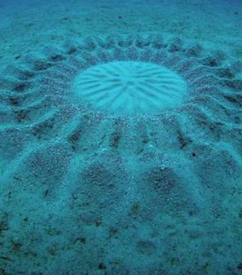 奄美大島の海底にミステリーサークルを作るフグ「アマミホシゾラフグ」 が世界の新種トップ10(2015年)に選ばれました